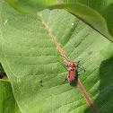 Red-femured Milkweed Borer