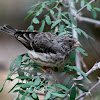 White-rumped Seedeater
