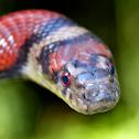 Red Milk Snake