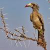 African grey hornbill, Grey hornbill