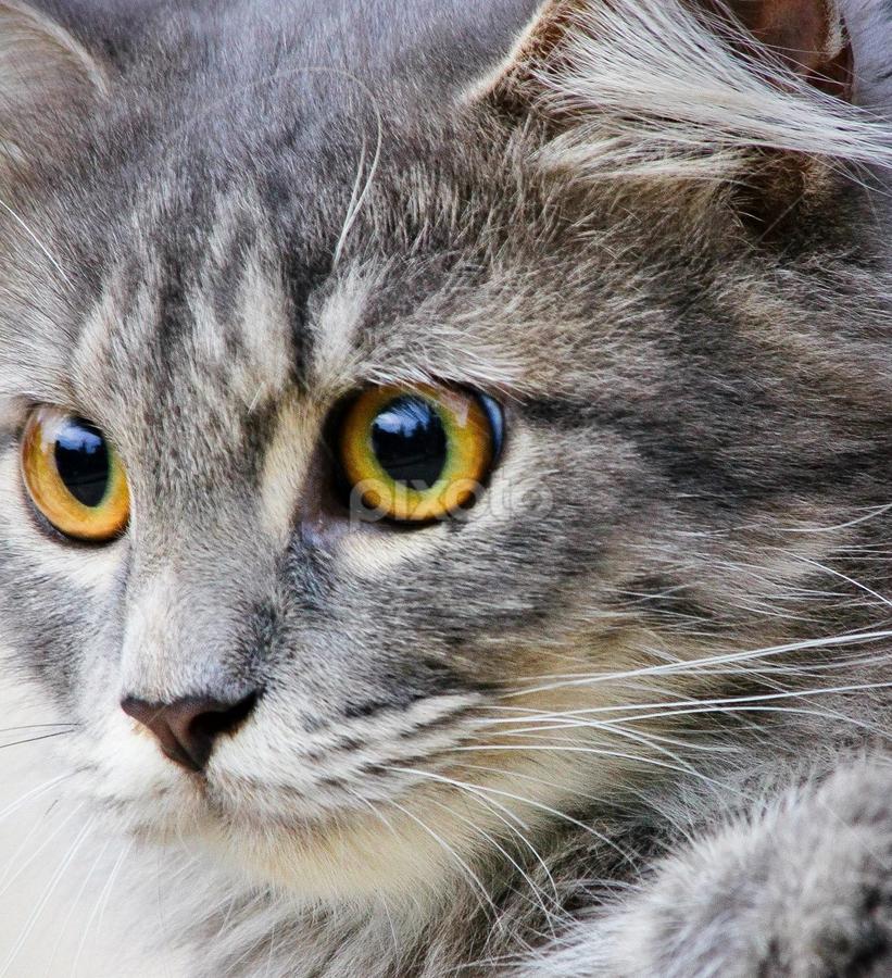kucing by Ronald Wahyudi - Animals - Cats Portraits (  )