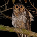 Spotted wood owl.