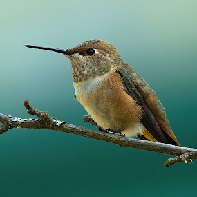 Rufus Hummingbird by Sheldon Bilsker - Animals Birds ( bird, park, nature, hummingbird, animal,  )