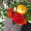 Pinata rose