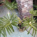 Philodendron bipinnafitidum