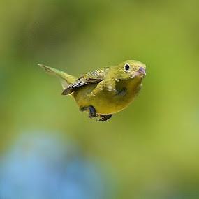 Bunting in Flight by Bo Chambers - Animals Birds ( female bunting, bird, bunting, flying, painted bunting, female, fly, green, in flight )