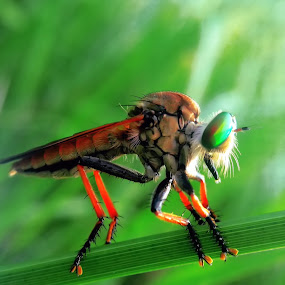 Robberfly by Abdul Aziz - Instagram & Mobile Android