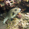 White-spotted Puffer