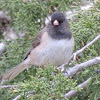 Dark-eyed Junco var. Oregon Junco