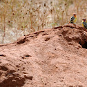 Red-and-Yellow Barbets