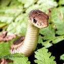 Eastern Garter Snakes