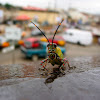 Variegated Grasshopper