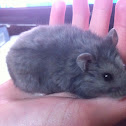 Bolt the Russian dwarf hamster