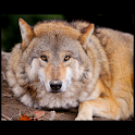 Animals : Wolf icon