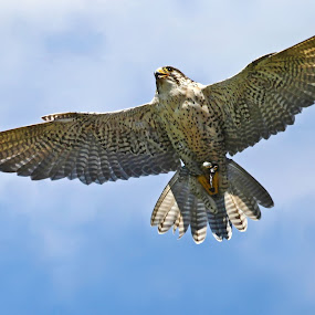 Falcon by Deleted Deleted - Animals Birds