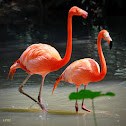 American Flamingo or Caribbean Flamingo