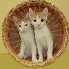 The Eliopoulis sisters by Sharon Scholtes - Animals - Cats Portraits ( two, kitten, cat, basket, white, brown, feline )