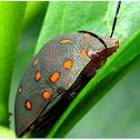 Shielded Bug