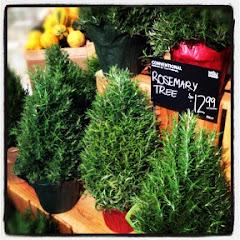 Rosemary Trees :)
