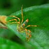 Iridescent Lynx Spider