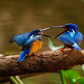 The Scrap! by Chris Krog - Animals Birds ( kingfisher, semitorquata, half-collared )