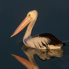 reflection by Gary Parnell - Animals Birds ( reflection, pelican )