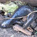 Eastern Spotted Salamander