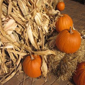 Fall Pumpkins by Patrick Jones - Public Holidays Halloween ( cornstalk, pumpkins, fall, halloween )