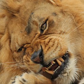 grr lion by Jackie McCorkle Tepe - Animals Lions, Tigers & Big Cats