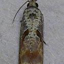 Maple Tip Borer Moth