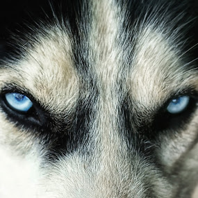 blue eyes by Tt Sherman - Animals - Dogs Portraits ( siberian husky, dog portrait, blue eyes, dog, eyes )