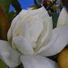 Magnolia grandifloria