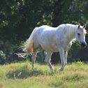 Horse (Arabian Mix)