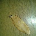 Hook-tip Moth (Drepanidae)
