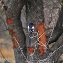 Magpie shrike, Long-tailed shrike