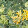 yellow legume shrub