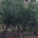 Olive tree (Zaytoon)