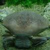 Cangrejo Ermitaño Gigante - Hermit Crab
