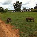 Warthog Warzenschwein