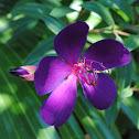 Princess Flower or Glory Bush