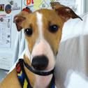 Teddy (Italian greyhound)