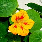 Garden Nasturtium, Indian cress, Monks cress