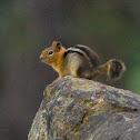 Golden-mantled Ground Squirrel