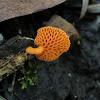 Orange pore fungus