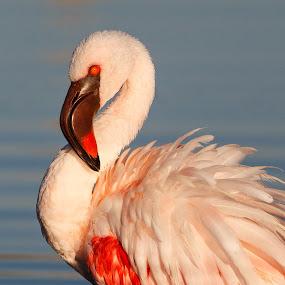 Lesser Flamingo by Tom Esterhuizen - Animals Birds ( bird, waterfowl, african, flamingo, light )