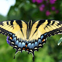 Eastern Tiger Swallowtail (Female, yellow morph)