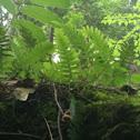 Polypody (Appalachian)