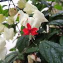 Bleeding-Heart Vine/Tears Christ/Beauty Bush