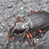 Vertical Ground Beetle