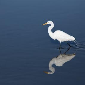 Reflections by Eduardo Llerandi - Animals Birds ( water, bird, bird reflections., florida, white bird, reflections,  )